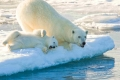 Playtime, polar bear, mother and cub, Svalbard, Arctic Norway