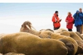 Guests observe walrus in Svalbard, Arctic Norway