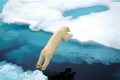 Make the Leap, Polar Bear, Svalbard, Arctic Norway