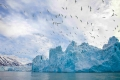 Kitiwakes (Rissa tridactyla), Monoco Glacier, Liefdefjord, Svalbard Archipelago, Norway